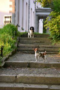 Dogs guard Longueville House, Co. Cork